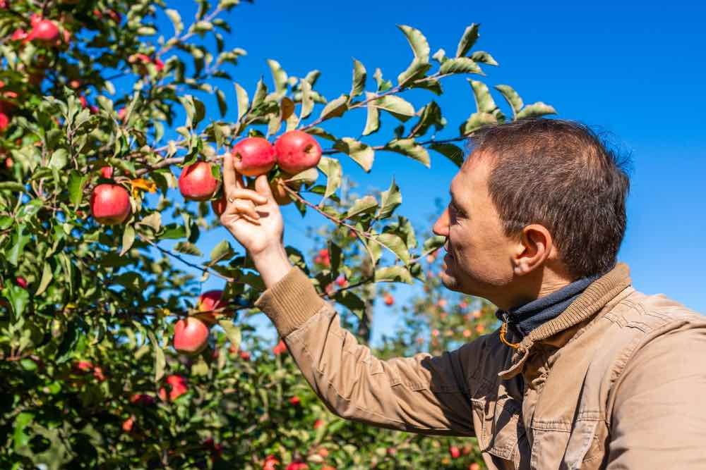 Man checking apples in an apple orchard