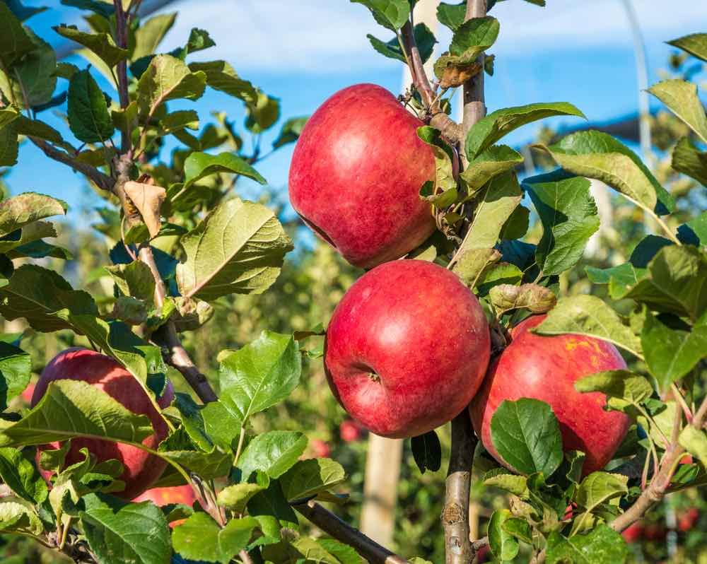 Ripe Pink Lady Apples