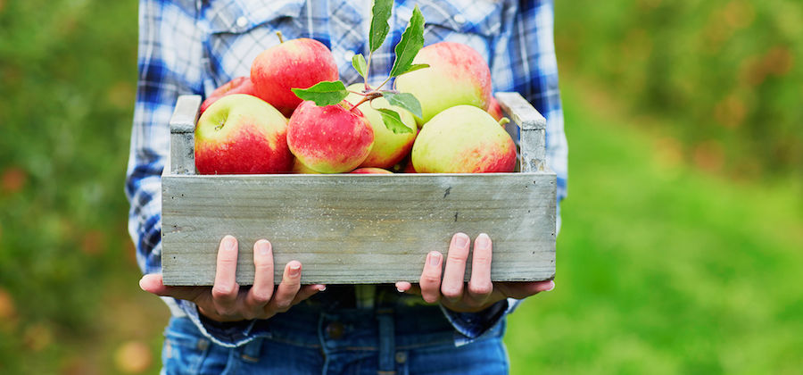 Closeup of girl holding box of picked apples.  U-pick apples are available for a fun fall activity at Minnesota Harvest.