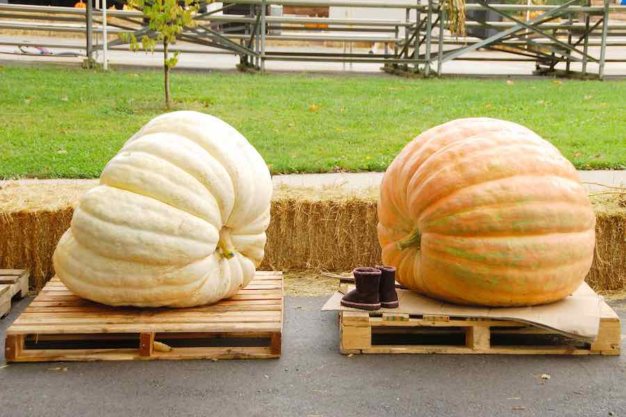 2 Giant Pumpkins