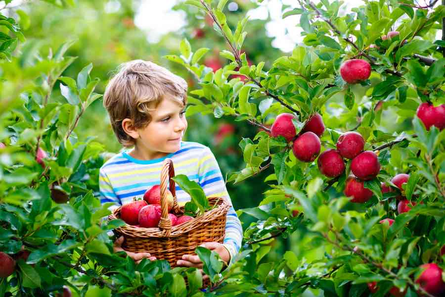 Boy with a basket of red delicious apples
