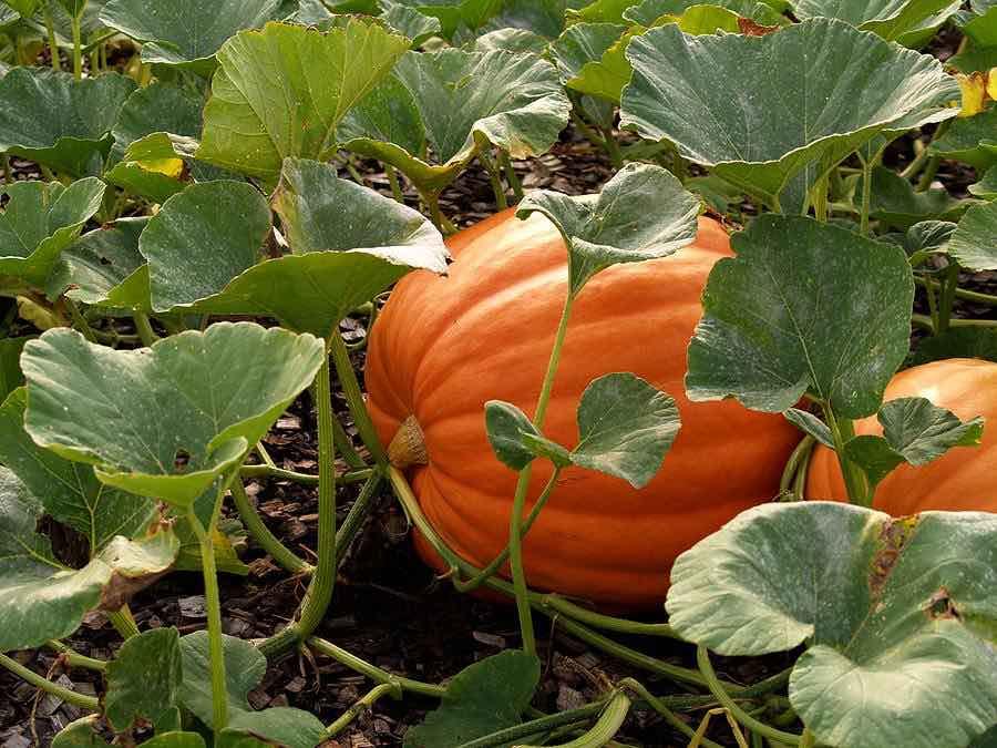 Bushkin Pumpkin