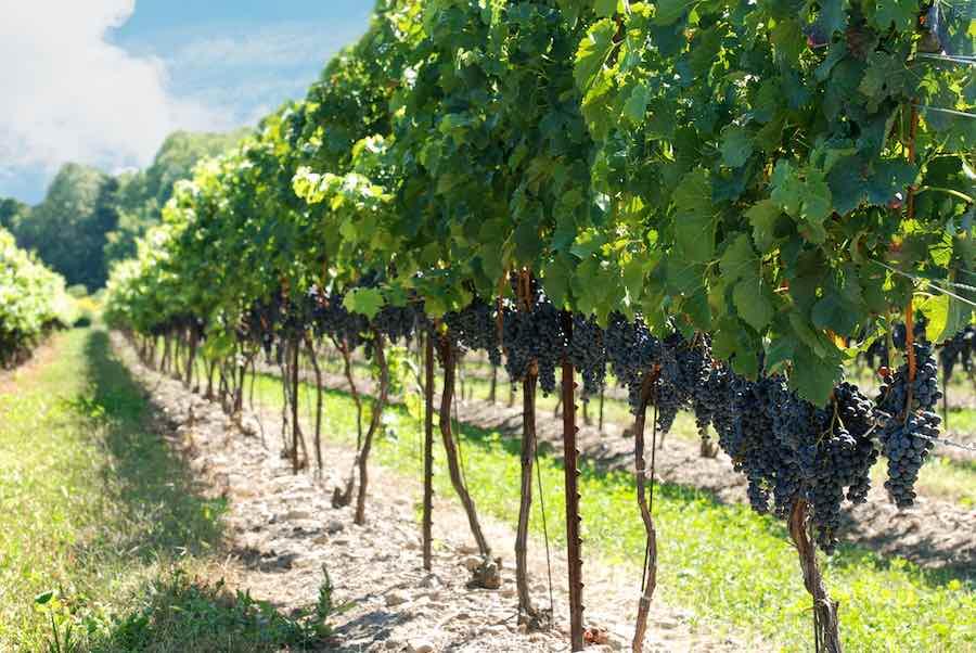 Concord Grapes at Vineyard