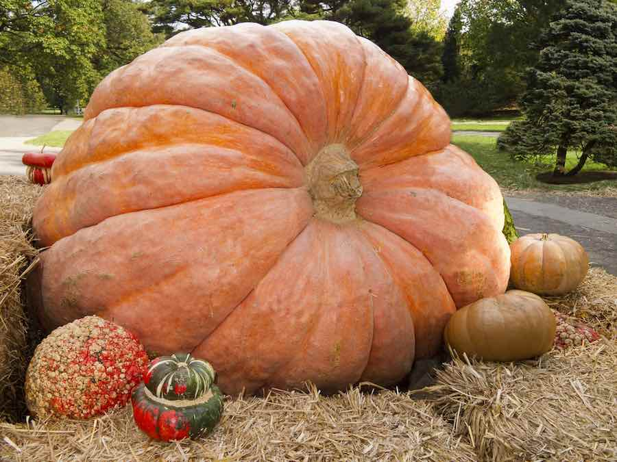Giant Pumpkin on Display