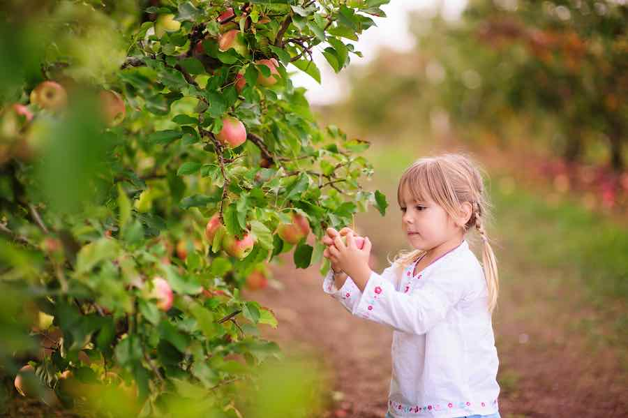 Girl Picking Braeburn Apples