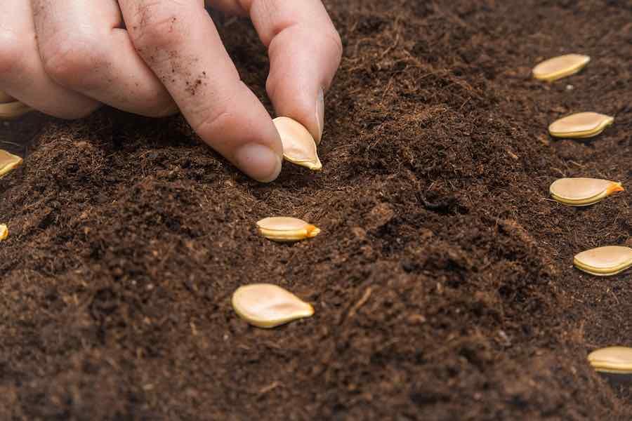 How to grow pumpkins: Planting pumpkin seeds