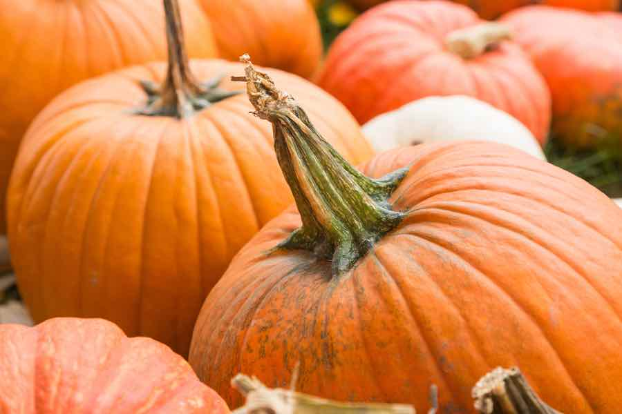 When to harvest pumpkins: Shriveled and twisted pumpkin stem.