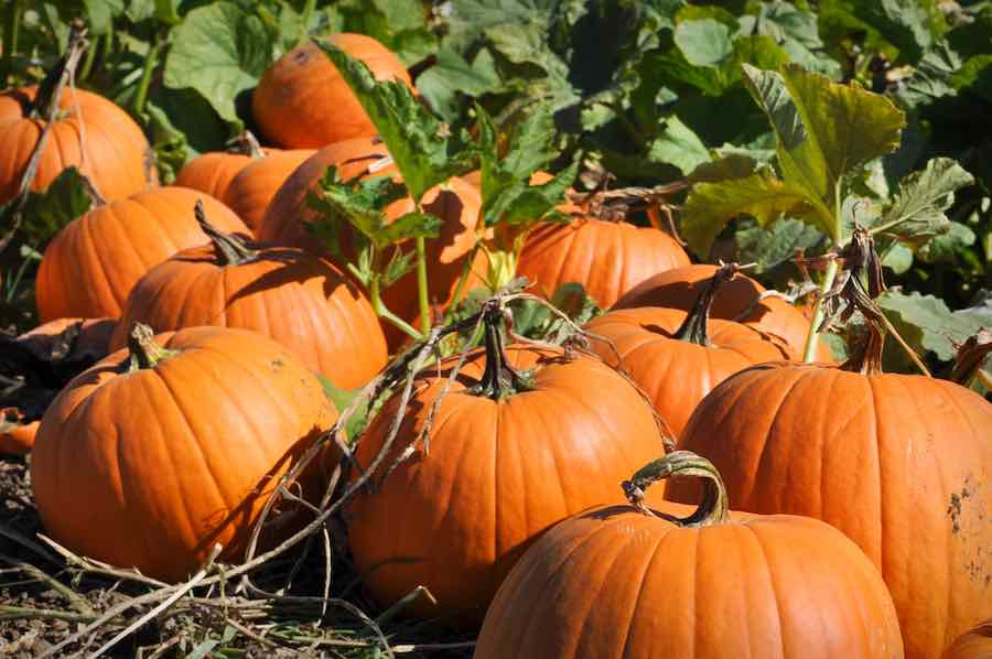 How to Grow Pumpkins: Pumpkins on vines in a pumpkin patch