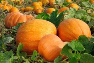 When to harvest pumpkins in pumpkin patch