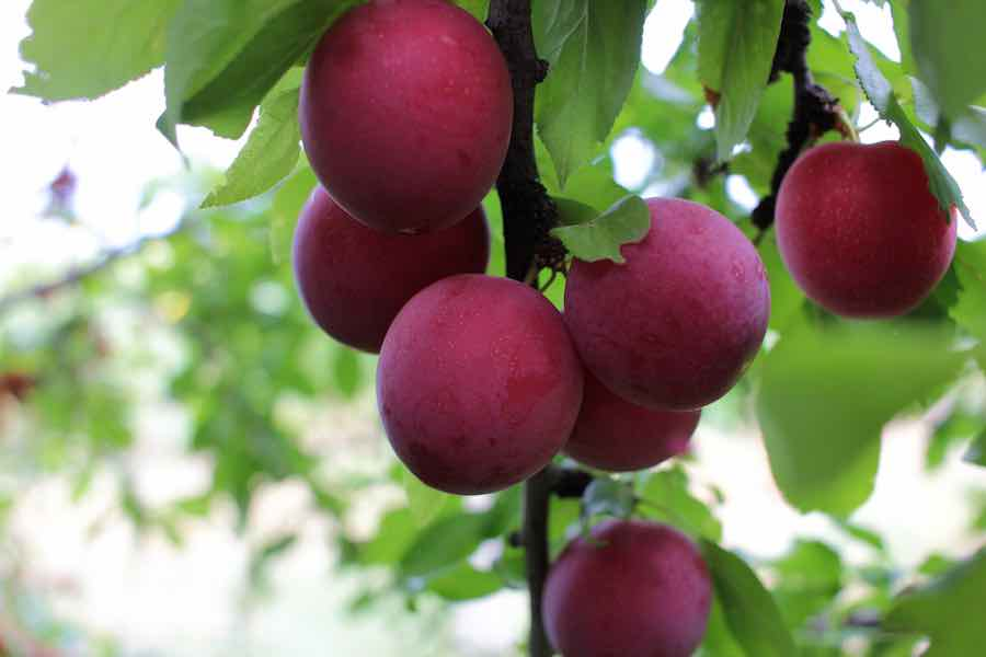 Ripe purple cherry plums