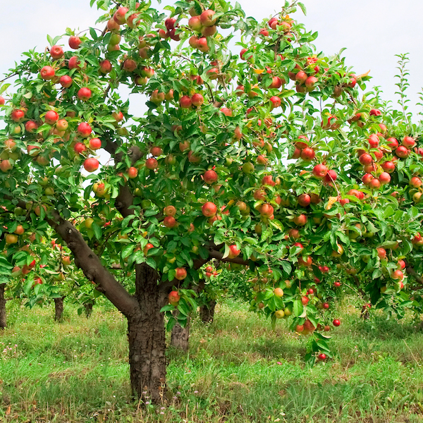 A dwarf apple tree with red apples growing on it -- some of the best apple orchards in Indiana grow dwarf apple trees for easy picking at harvest time.