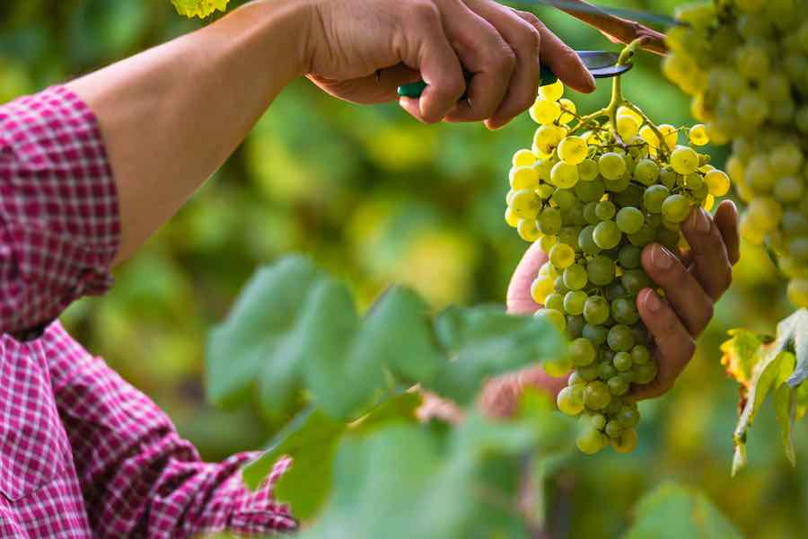 Cutting White Grapes From The Vine