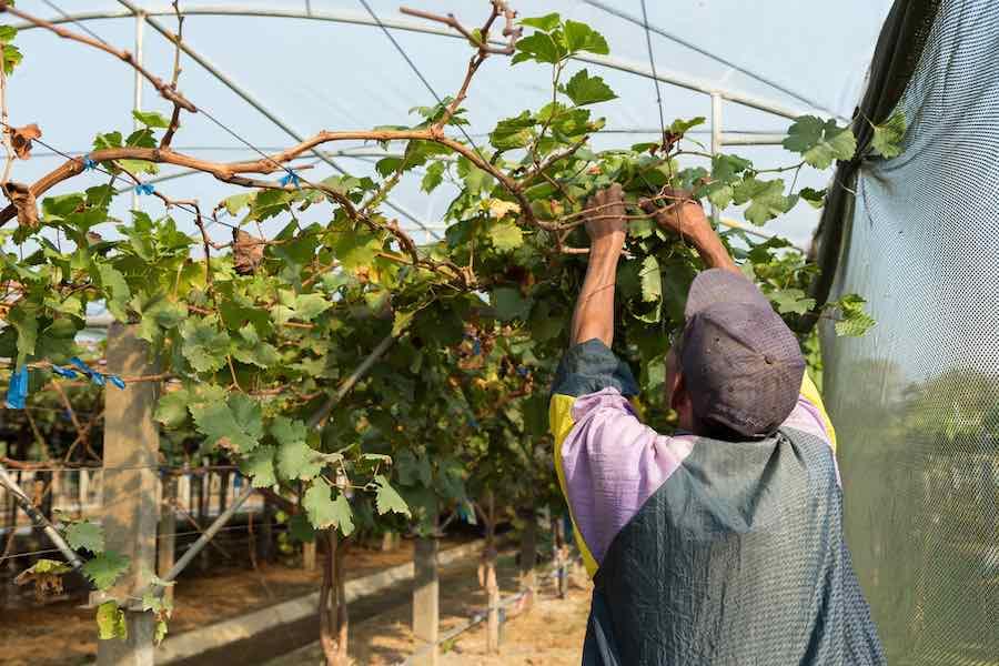 Man pruning a grape vine