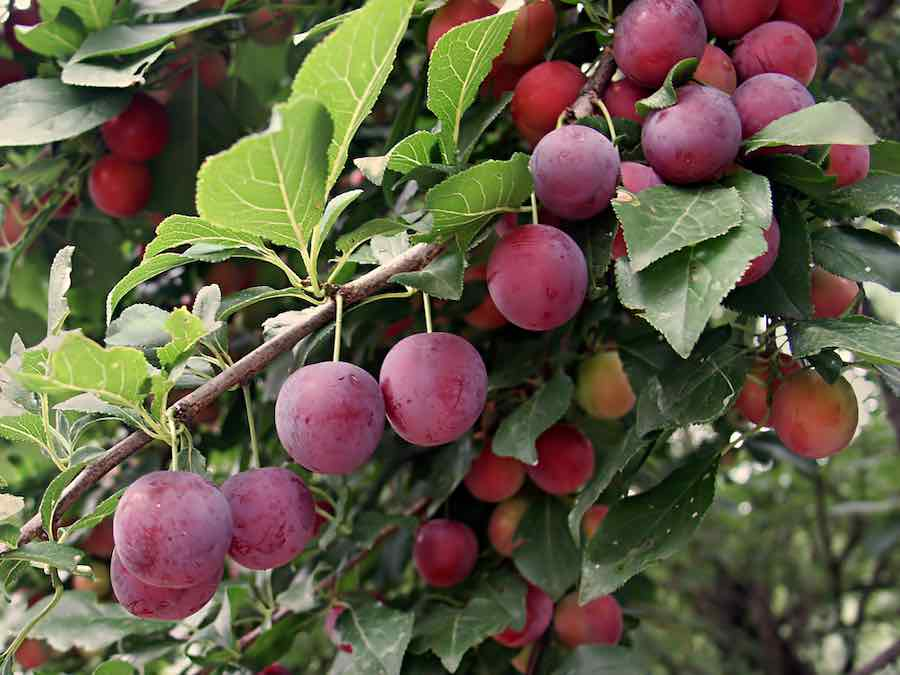 How to can plums: Plums on a treebranch