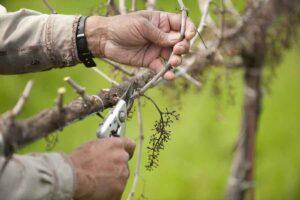 Pruning a California wine grape vineyard