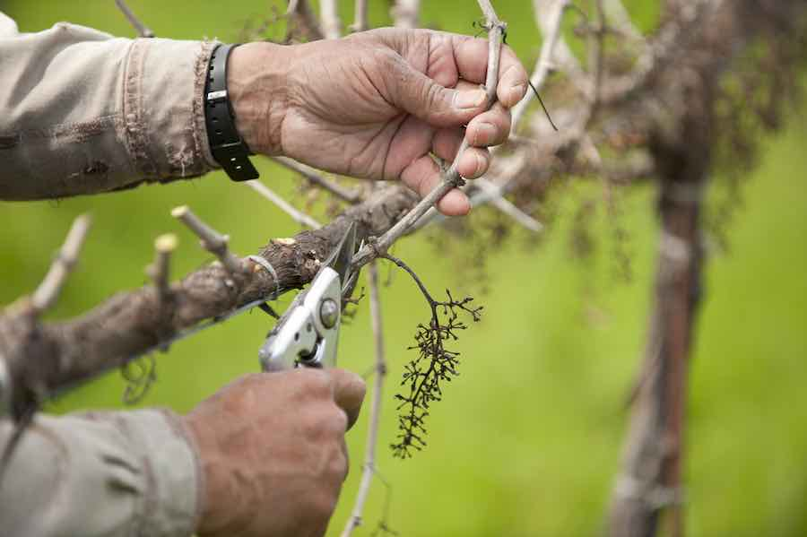 Pruning a California wine grape vineyard