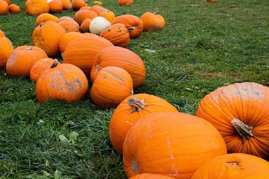 Pumpkin Patches in Connecticut: Pile of pumpkins