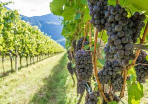 How to Train Grape Vines - Grapes on a Vine