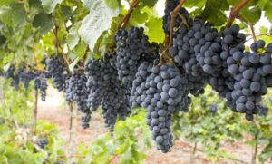Lemberger Grapes
