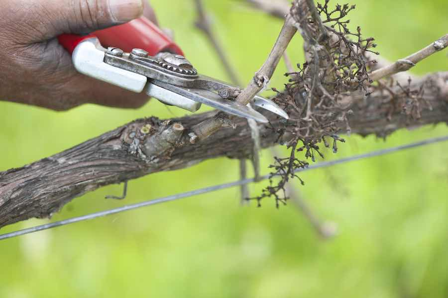 Pruning A Grape Vine