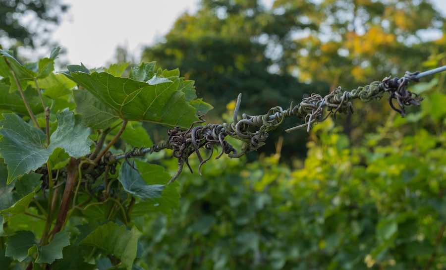 How To Train Grape Vines: Tendrils of last years vines on the wires in a vineyard