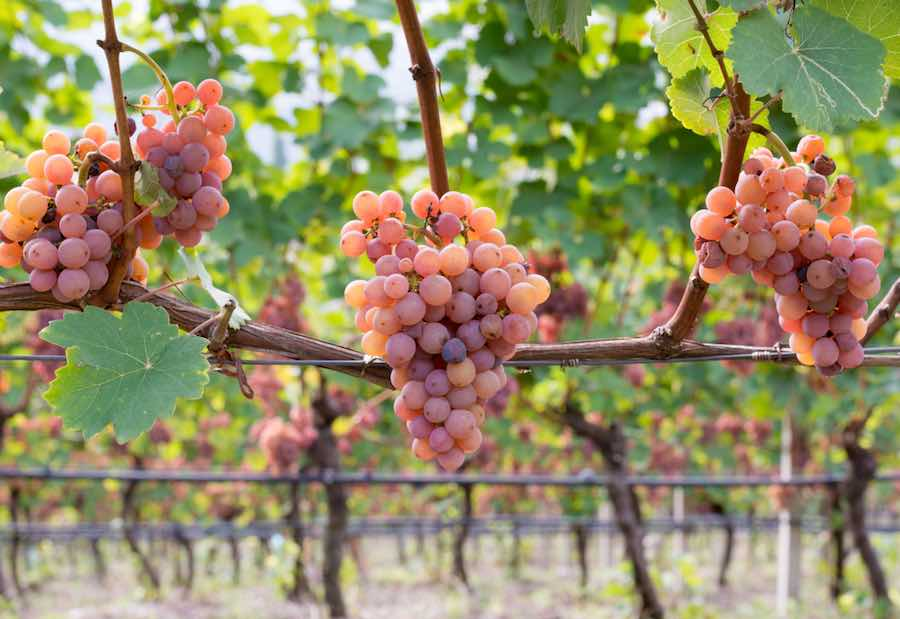 gewurztraminer grapes in vineyard