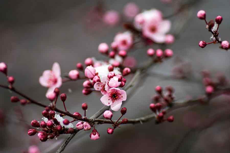 Plum Tree Blooming
