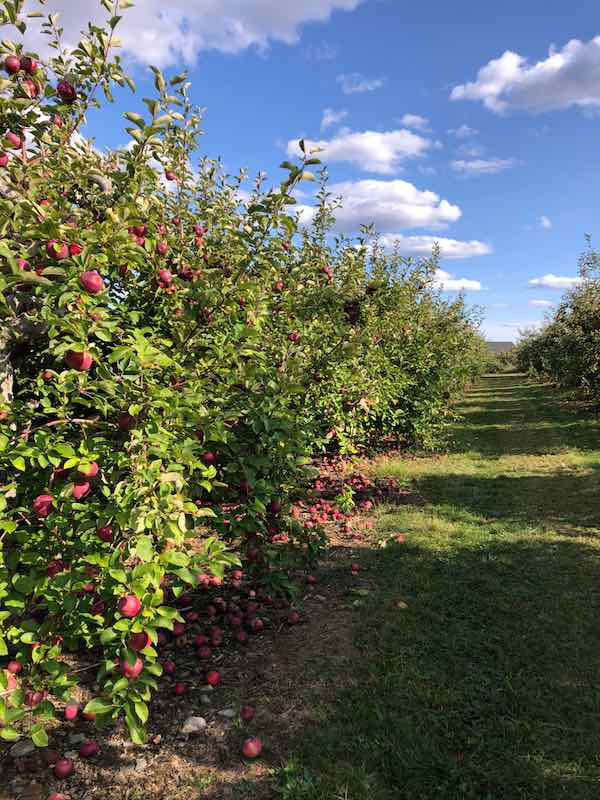 Apple Orchard on a Fall Day