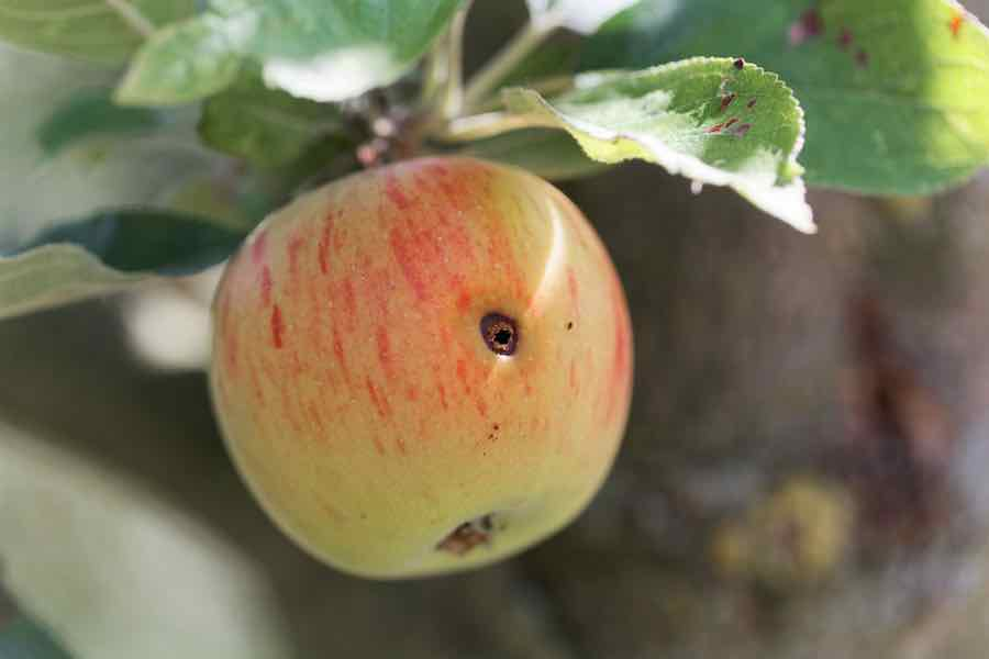 Boring trace of a codling moth (Cydia pomonella) in an apple on a branch with leaves.