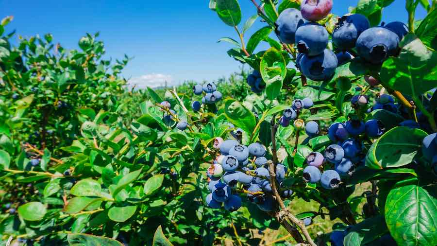 Blueberries in Harvest