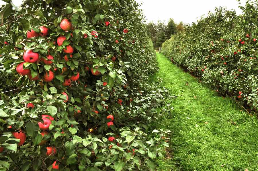 Orchard of Empire Apple trees -- good pollinators to plant with the SnowSweet Apple tree