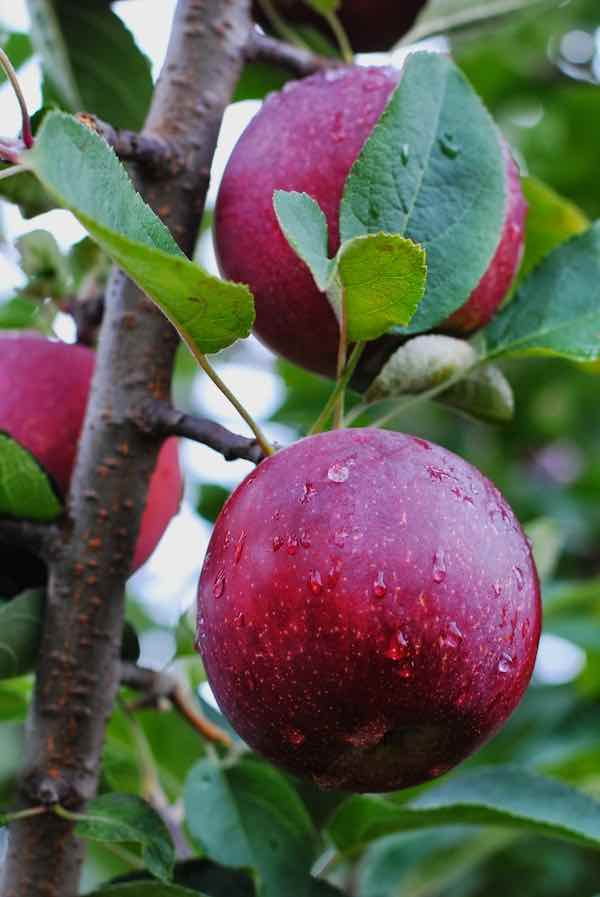 Empire Apples on a Tree