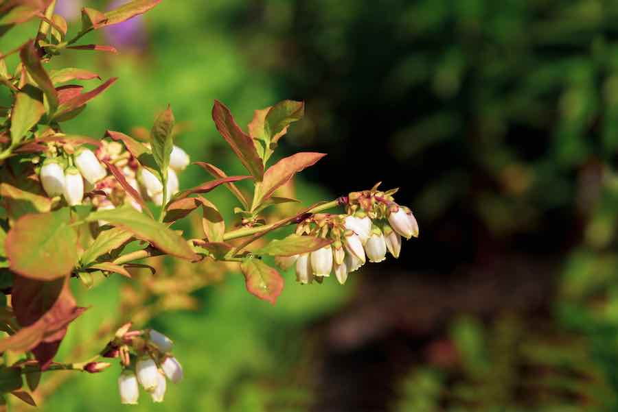 Flowering Blueberry Bush