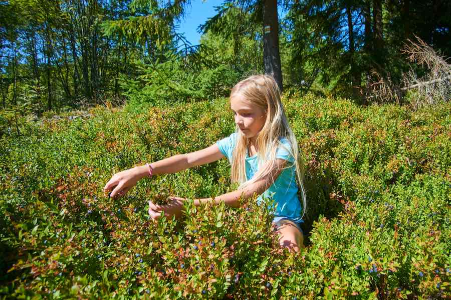 Girl picking blueberries in the forest
