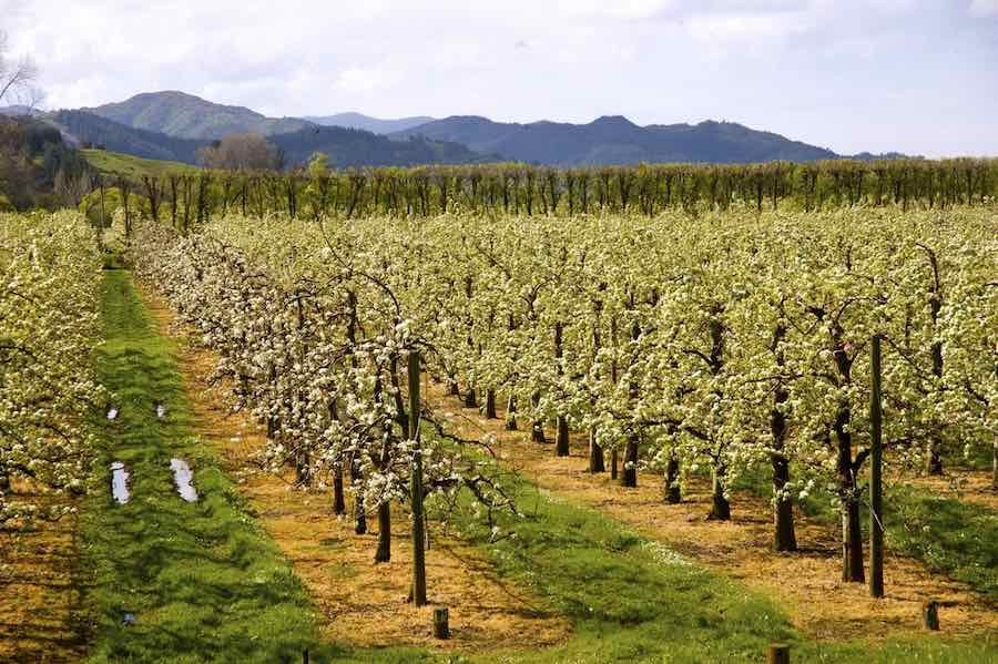 Jazz Apples in an Orchard