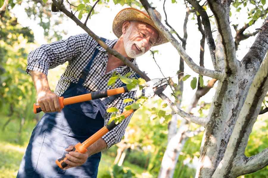 Man Pruning A Plum Tree