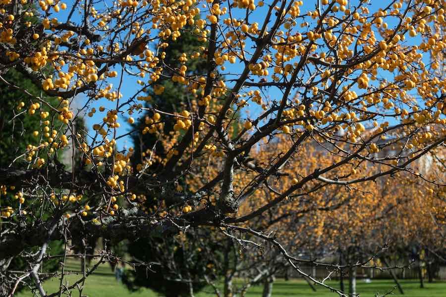Myrobalan Plum Tree