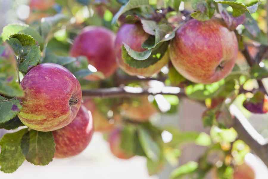 Organic Cortland Apples