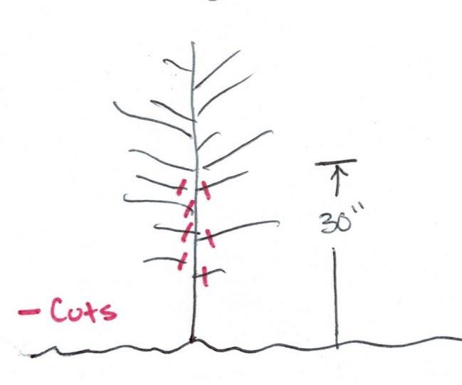 Pruning Apple Tree Diagram 1