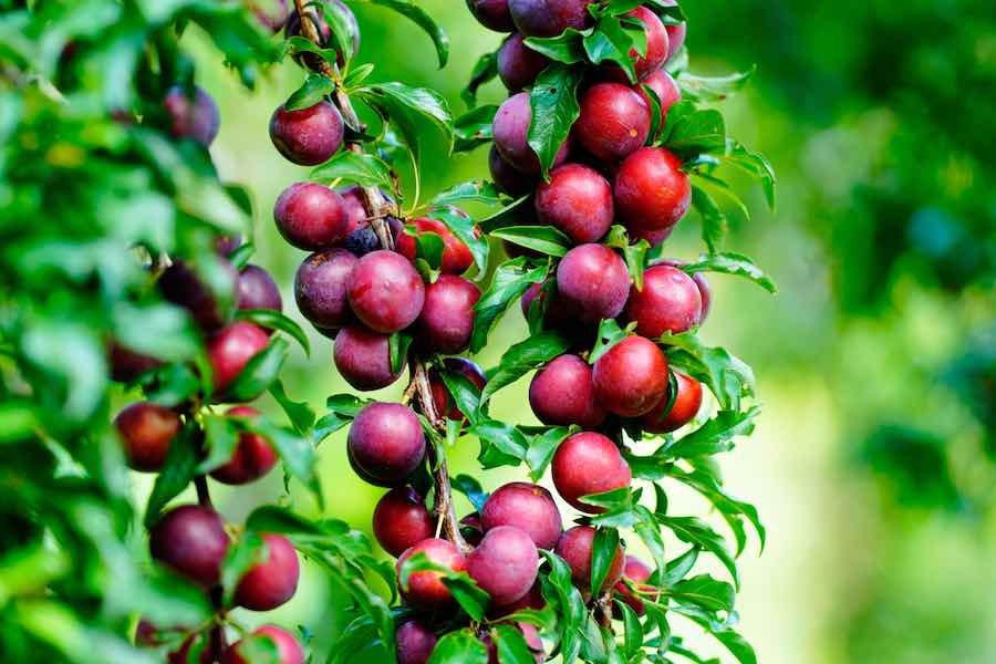 Plum Trees For Sale at Fast Growing Trees
