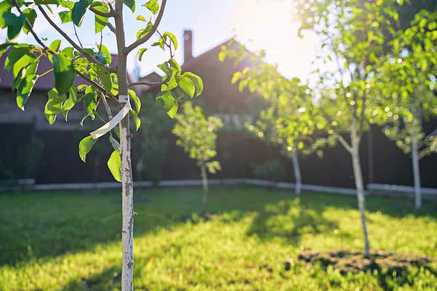 Pruning Apple Trees: Baby Apple Tree