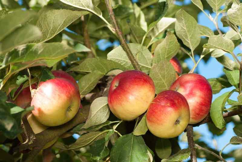 Akane Apples Growing on a Tree