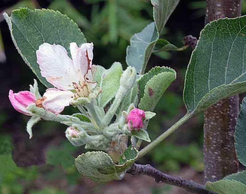 Anna Apple Blossom