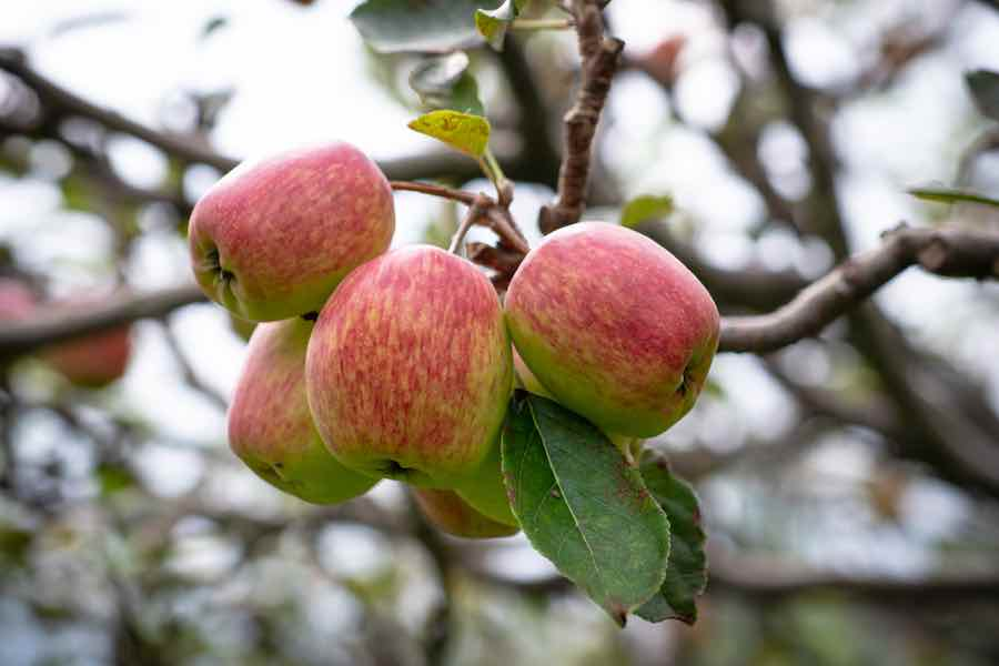 Anna Apples on a Branch