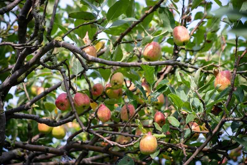Anna apples on a tree