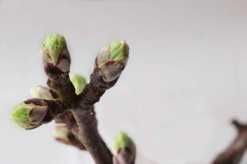 Apple Tree Buds