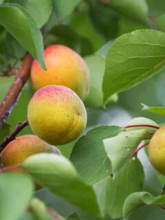 Apricot fruits on the tree