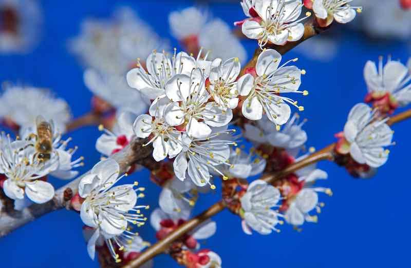 Apricot tree blossom