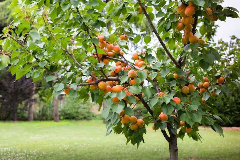 Apricots on a Tree