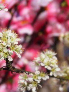 Flatwood plum tree